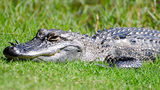 A 5-foot alligator was recently found on the second floor of a Florida apartment complex.