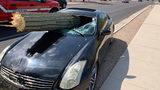 Saguaro Cactus Impales Driver's Windshield in Arizona