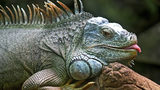 Stock photo of an iguana.