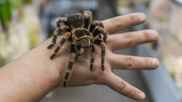 Large Fist Sized Tarantulas Found Creeping Around Central