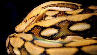 20-foot reticulated python at Florida zoo slithers toward world record