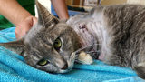 The cat, named Pickles, had to have her leg amputated. (WPXI.com)