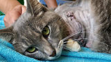 Cat's Leg Amputated after Firecrackers were Tied to Her Front Paw