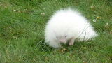 This cute creature had many scratching their heads as to what it was. It's a baby albino porcupine.