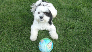 18 Shih Tzu dogs up for adoption; owner couldn