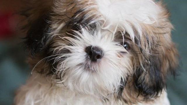 18 Shih Tzu dogs up for adoption