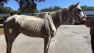 Man charged with animal cruelty after 2 horses found emaciated in Florida