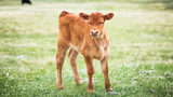 Escaped Calf Slaughtered in Connecticut Parking Lot