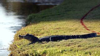 Pet alligator found roaming Michigan neighborhood