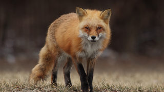 North Carolina man fights off rabid fox with hammer