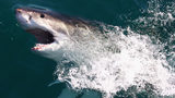 FILE PHOTO: A Great White Shark swims in Shark Alley. Recently a shark said to be a great white, took a fish from a boy's fishing line in Massachusettes.