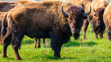 What You Need to Know: Bison