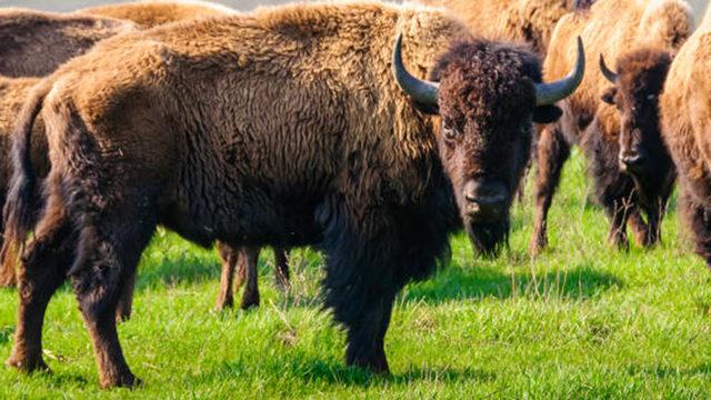 bison attacks  year  girl fox