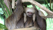 FILE PHOTO: The Indianapolis Zoo is now the home to six rescued sloths.