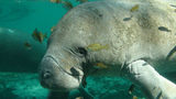 FILE PHOTO: A Virginia Beach boater got a rare sight when he caught a manatee slurping water from a hose running off the side of his pontoon boat. (Photo: Tracy Colson/ U.S. Fish and Wildlife Service)