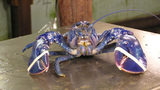 Fisherman in Maine catches cotton candy-colored lobster
