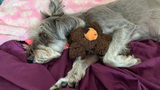 Sophie, a miniature Schnauzer, was allegedly kicked 15 feet into the air by Dylan McTaggert, accordng to Port Hueneme Police Department officials.