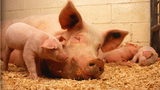 The Pork Queen at the Iowa State Fair helped a sow deliver her final piglet Tuesday.