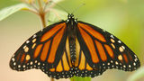 Monarch butterflies, like the one pictured here, may be going extinct.