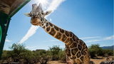 Kibo had been a fixture at Arizona's Out of Africa Wildlife Park since 1999. The giraffe died Tuesday at the age of 20.