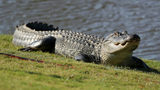 FILE PHOTO: Video shows a Florida golfer continuing to play while a nearly 7-foot alligator casually walks across the green.