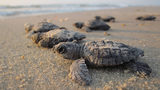 Stock photo of sea turtle hatchlings.