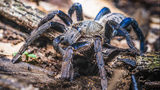 A tarantula with cobalt blue legs, similar to one found in Sri Lanka, is pictured here. Researchers discovered a new species of the arachnid in a rainforest in the southwestern part of the country.