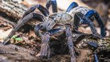 Rainforest discovery - brilliant blue tarantula, 'big enough to hold donut'
