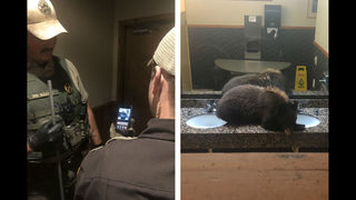 Watch: Black bear found chilling in Montana lodge's ladies
