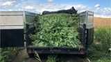 Authorities seize 25,000 marijuana plants hidden in Eastern Washington cornfield