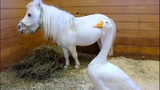 VIDEO: Horse and goose pals in Pennsylvania adopted together