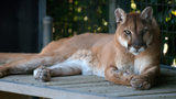 A lounging cougar. An Oregon women thought she saw a cougar on her neighbor's roof, but it turns out the big cat was a lion made of resin mounted to the roof to help draw attention to the man's antique business.
