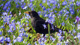 Blackbirds are another bird species that have seen a severe decrease in numbers since 1970, according to new research that found habitat loss and pesticide use are among the main reasons for a major decline in avian populations.