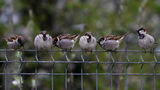 Sparrows perch on a fence. A new study on the disappearance of 3 billion birds over the past 50 years puts sparrows near the top of the list of birds whose populations are in severe decline.