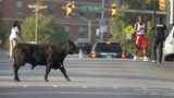 An escaped Angus breeding bull crosses a street near Coppin State University after being shot with several tranquilizer darts, Wednesday, Oct. 2, 2019, in Baltimore. The bull eventually went down a couple blocks later and was loaded into a trailer.