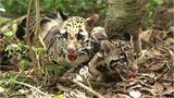 Pittsburgh Zoo and PPG Aquarium welcome new male clouded leopard