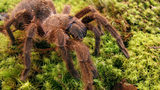 FILE PHOTO: Tarantulas will be on the move looking for mates in the San Francisco area.