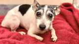 Dutchess, a 14-year-old Fox Terrier, went missing as a puppy on Feb. 28, 2007 (Humane Animal Rescue's North Side Animal Resource Center via WPXI.com)