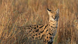 A police officer shot and killed a Serval that reportedly attacked a dog in Ohio.