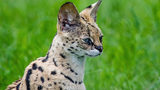 Ohio police officer reportedly shoots serval that was kept as pet
