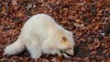A rare albino raccoon was spotted in a Long Island neighborhood.