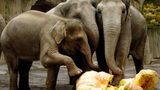 Elephants at the Oregon Zoo, shown in this 2004 file photo, have been smashing pumpkins for years during the annual Squish the Squash event.