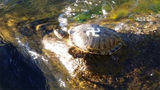 Turtles in Washington state marked with swastikas