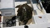 Deputies rescue 144-pound sea turtle that was struck by boat