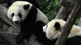 Bei Bei the giant panda moves from Washington D.C. to China