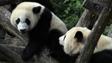 FILE PHOTO: Giant panda Bei Bei (L) plays with his mother Mei Xiang (R) at the Smithsonian National Zoological Park. Bei Bei is being transferred to his new home in China.