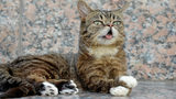 """Celebrity internet cat Lil Bub attends the """"Lil Bub And Friendz"""" Tribeca Drive-In Screening during the 2013 Tribeca Film Festival. (Photo by Dave Kotinsky/Getty Images for Tribeca Film Festival)"""